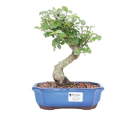 Bonsai de Ligustrinho 6 anos (25 cm)