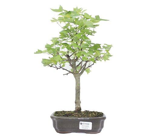 Bonsai de Acer Kaede 4 Anos ( 28 cm)