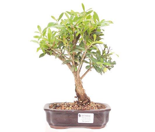 Bonsai de Cereja Anã (silvestre) 4 anos (26 cm )