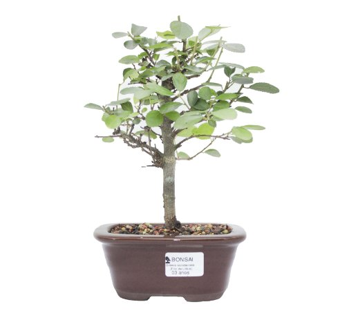 Bonsai de Grewia Occidentalis (Flor de Lótus) 3 anos (26 cm)