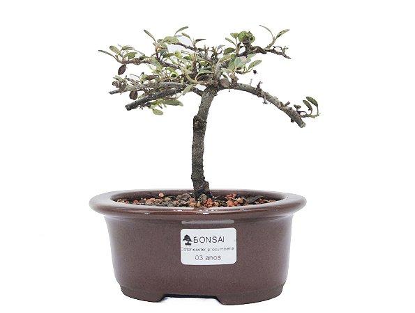 Bonsai de Cotoneaster Apiculata - 3 anos ( 20 cm )