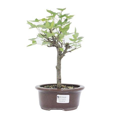 Bonsai de Acer Kaede 3 Anos ( 30 cm)