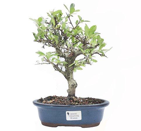 Bonsai de Piracanta Amarela - 5 anos ( 28 cm)