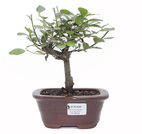 Bonsai de Grewia Occidentalis (Flor de Lótus) 3 anos (26 cm)
