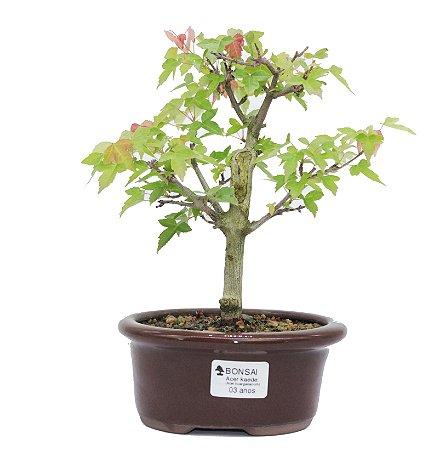 Bonsai de Acer Kaede 3 Anos ( 27 cm)