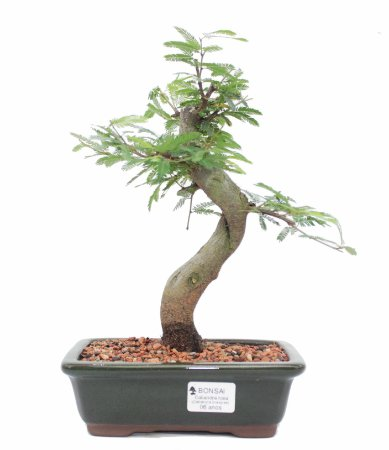 Bonsai de Calliandra Rosa 6 Anos ( 30 cm )