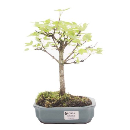 Bonsai de Acer Kaede 4 Anos ( 25 cm)