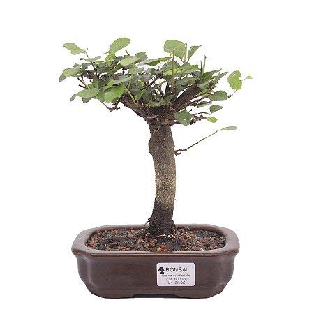 Bonsai de Grewia Occidentalis (Flor de Lótus) 4 anos (23 cm)