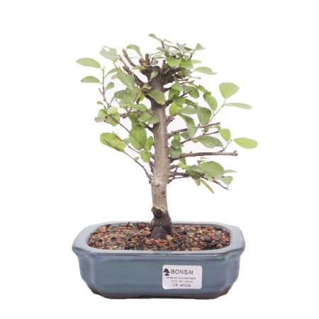 Bonsai de Grewia Occidentalis (Flor de Lótus) 4 anos (25 cm)