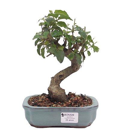 Bonsai de Ligustrinho 5 anos (23 cm)