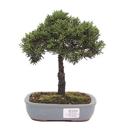 Bonsai de Junípero Shimpaku 4 anos (24 cm)