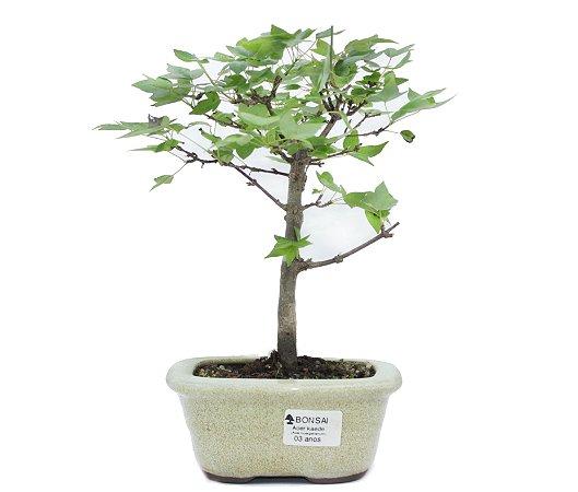 Bonsai de Acer Kaede 3 Anos ( 28 cm)