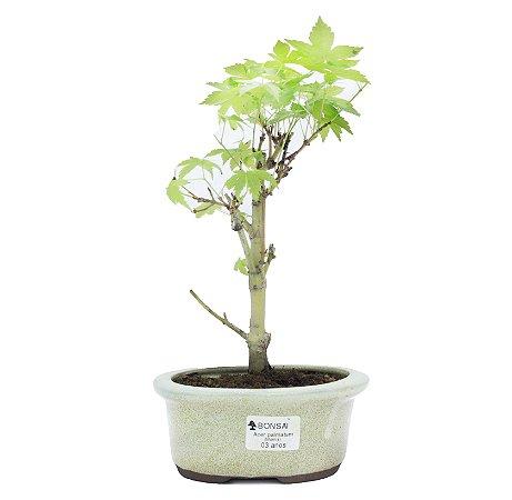 Bonsai de Acer Palmatum 3 Anos ( 26 cm)