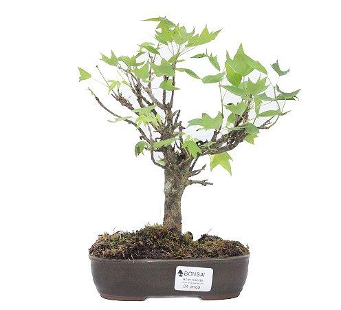 Bonsai de Acer Kaede 4 Anos ( 26 cm)