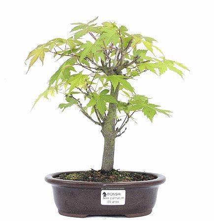 Bonsai de Acer Palmatum 5 Anos ( 28 cm)