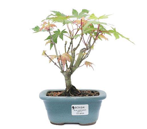 Bonsai de Acer Palmatum 3 Anos ( 20 cm)