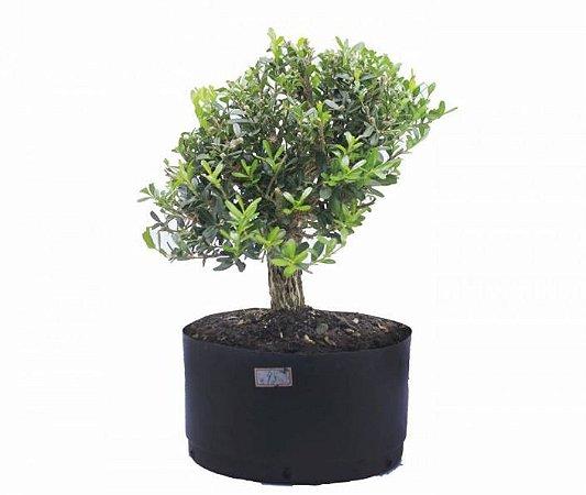 Pré Bonsai de Buxus Harlandi - 4 anos (27 cm)