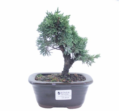 Bonsai de Junípero Shimpaku 3 anos (20 cm)