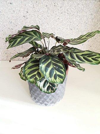 Calathea Melancia Verde