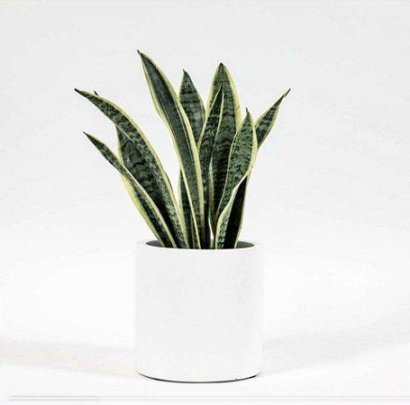Espada de são jorge variegata em vaso branco