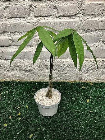 Árvore do Dinheiro (Sem vaso decorativo)