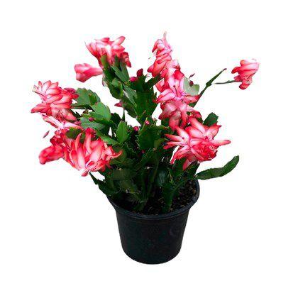 Flor de maio - Pote 11