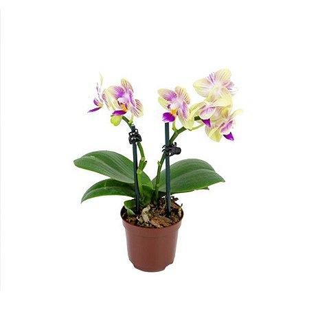 Phalaenopsis mini - Pote 06