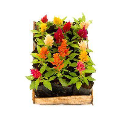 Celosia - Caixa com 15 mudas
