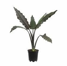 Alocasia Lauterbachiana - PT12