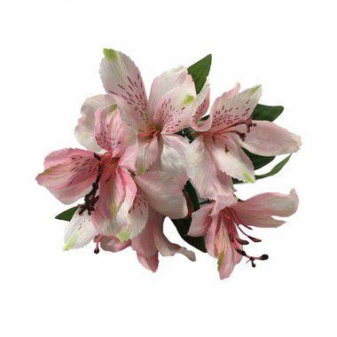 Astromelia Nara Rosa