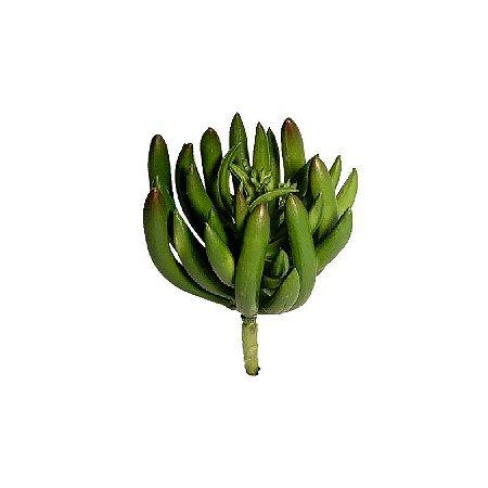 Suculenta Leticia 9165-107