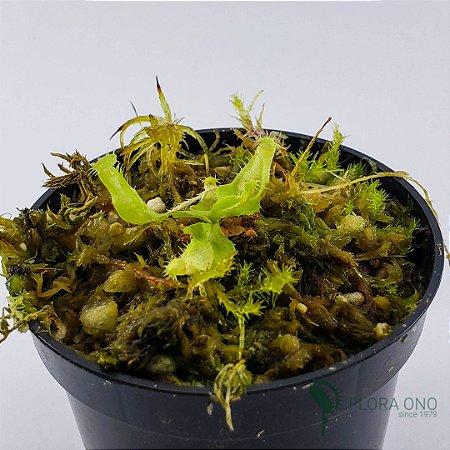 Nepenthes Thorelli x Rafflesiana - Muda (Pequeno)