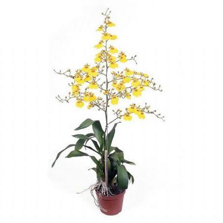 Orquídea ONCIDIUM Amarela