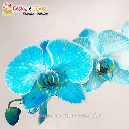 Orquídea PHALAENOPSIS AZUL Vaso de Barro