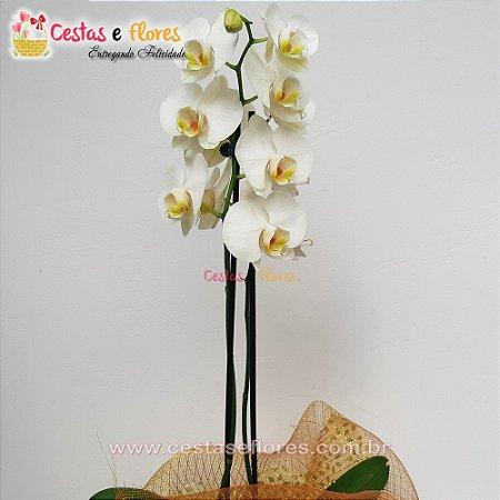 Orquídea Frozen PHALAENOPSIS
