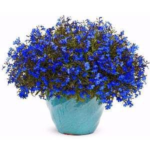 Semente falecia azul - Feltrin - 20 unidades