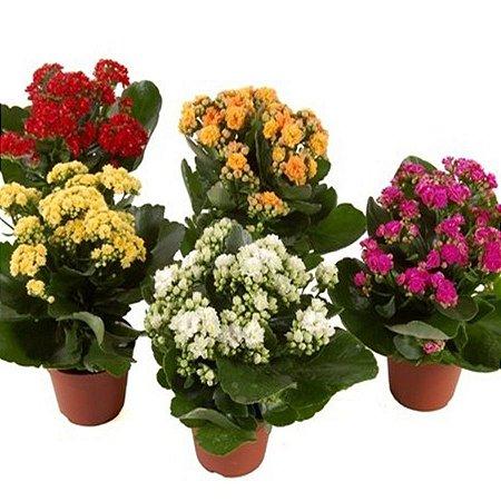 Vaso de Flor Kalanchoe  -  Cores variadas