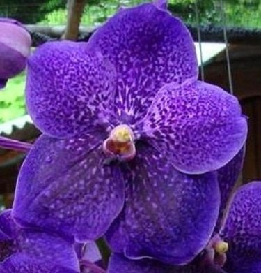 Vanda Robert's Delight Ink Star - Raiz Aérea