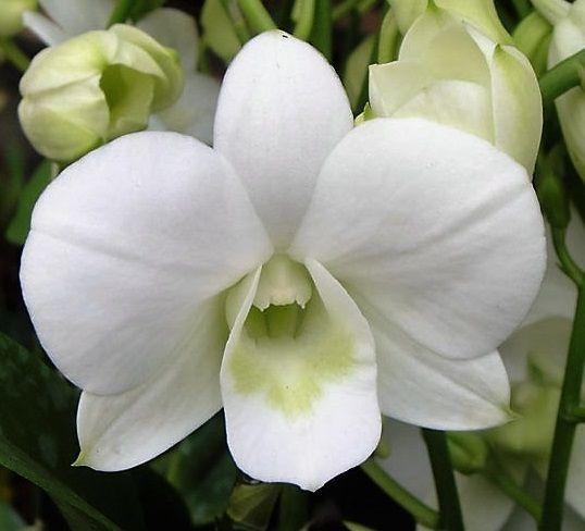 Orquídea Denphal Suphanburi White