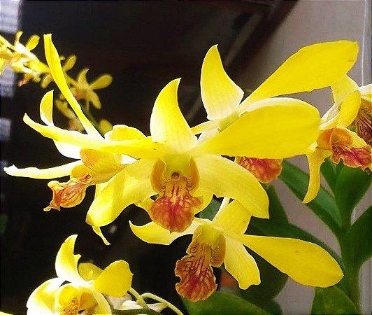 Orquídea Denphal Yellow