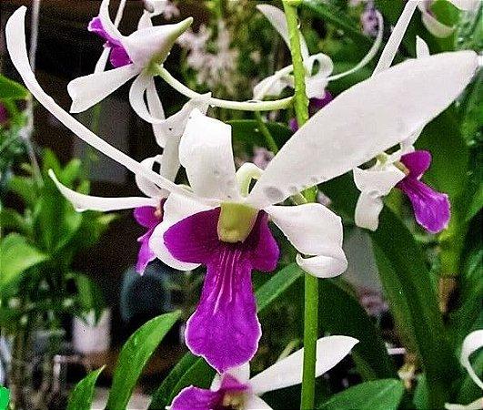 Orquídea Denphal Caesar Giant