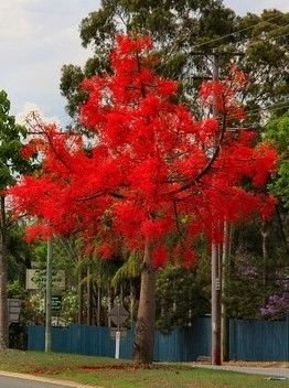 Mudas de Árvore do Fogo Illawarra