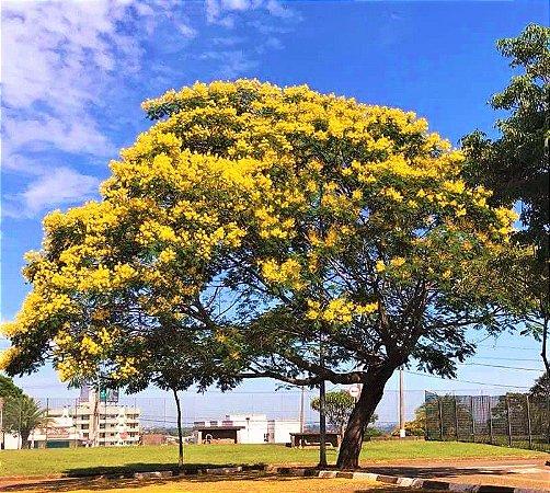 Canafístula ou Faveira ou Angico-amarelo
