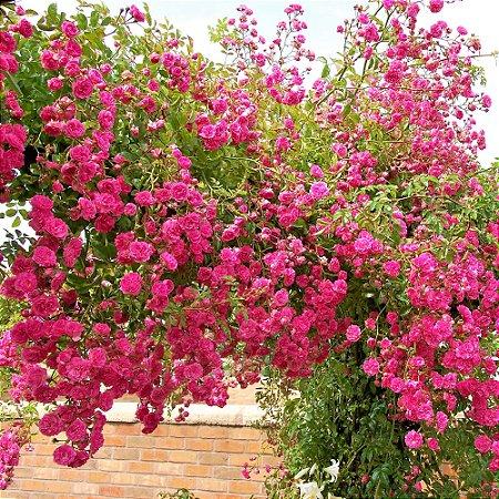 Rosa Trepadeira cor Rosa Flor Dobrada em Cachos