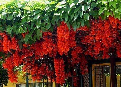 Trepadeira Jade Vermelha - Atrativo de Beija-flor