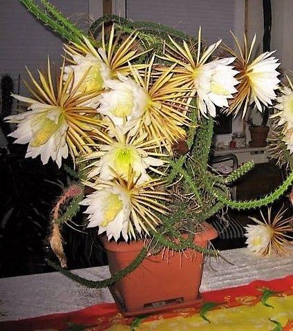 Pitaya de Grandes Flores - Ornamental e Frutas Comestíveis