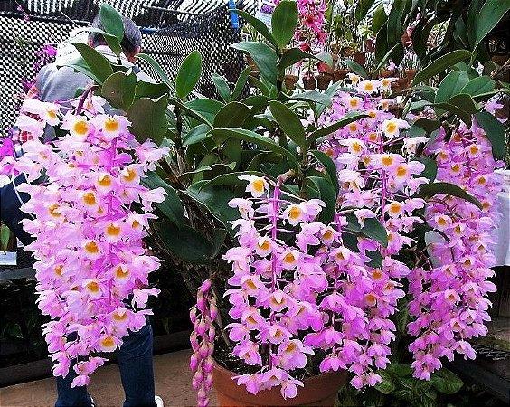 Orquídea Dendrobium bronckartii - Hastes Pendentes