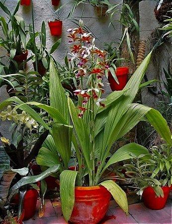 Orquídea Phaius Tankervilleae - Orquídea Terrestre - Lindas folhas e Hastes Florais Gigantes