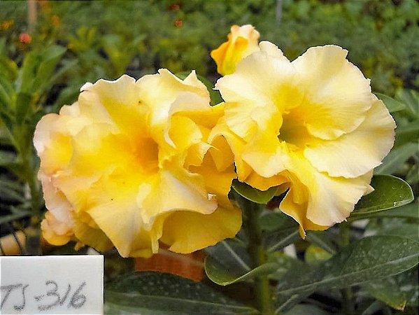 Rosa do Deserto Amarela Intenso Flore Pétalas Triplas Enxertada TS316