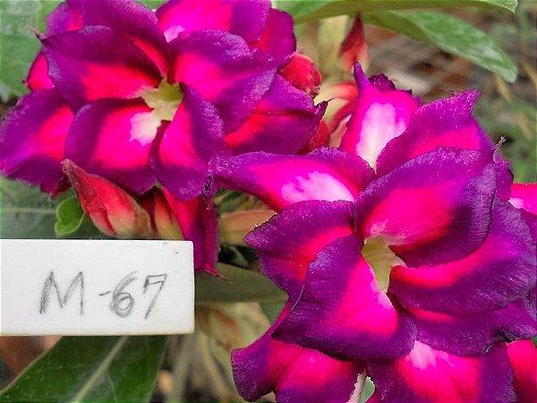 Rosa do Deserto M67 Flores Dobradas Enxertada